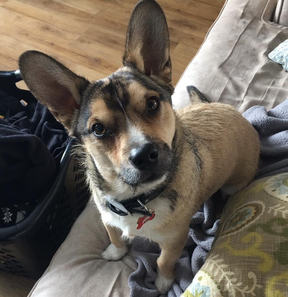 7. Argos - A 1 year old rescued boy!! A corgi mix with shepherd/husky features all in a 25 pound compact body!!! He's an amazing herding pup and loves his kitty sister, Pusheen,and his big sister, Petunia!