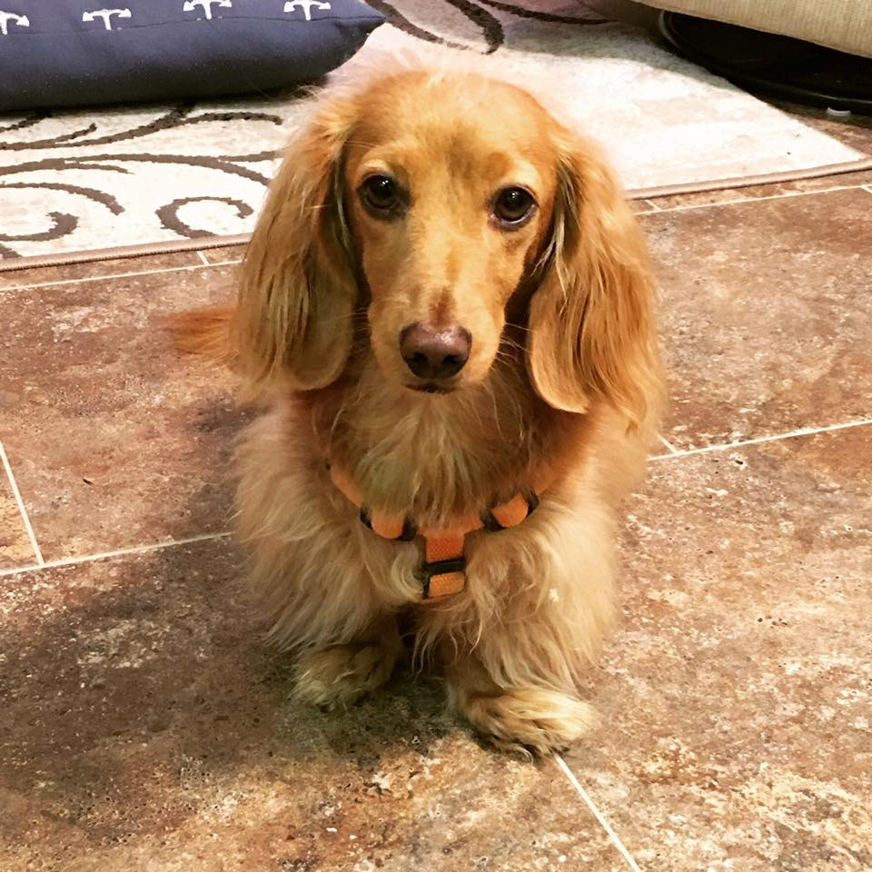 10. Hans - He is a 3 year old long hair miniature dachshund. He is such a sweetie. Every morning he waits on my daughter's shoes or my son's backpack or something that he knows they won't leave without. He doesn't want us to forget him when I drop the kids off at school. He loves our kids!