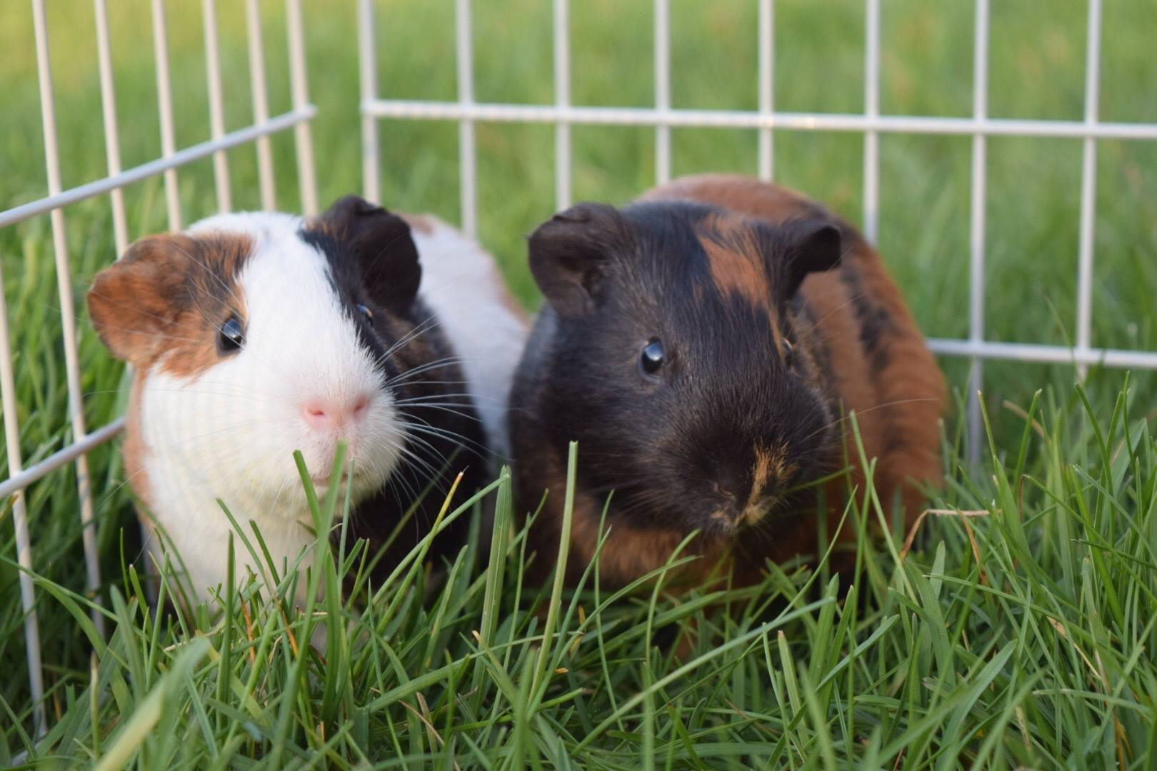 19. Pip & Zip - Pip (on left) is my 2 year old guinea pig. He hates being apart from his brother Zip (on right). He loves to eat and is very talkative, especially when he sees me coming with snacks.