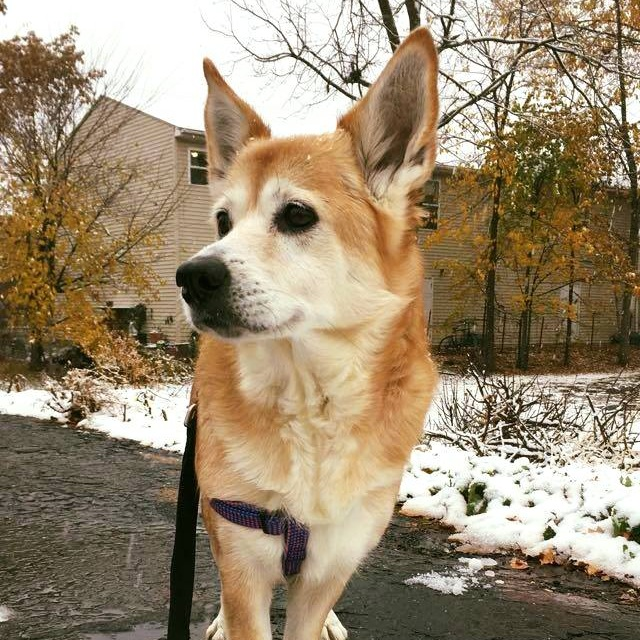 3. Jillian - This is Jillian! She's my nine-year-old corgi/shiba-inu mix! I adopted her back home in Texas last year, and she is an excellent singer. My boyfriend and I are both classical musicians, and she regularly outshines us her with her howling accompaniment when we practice!