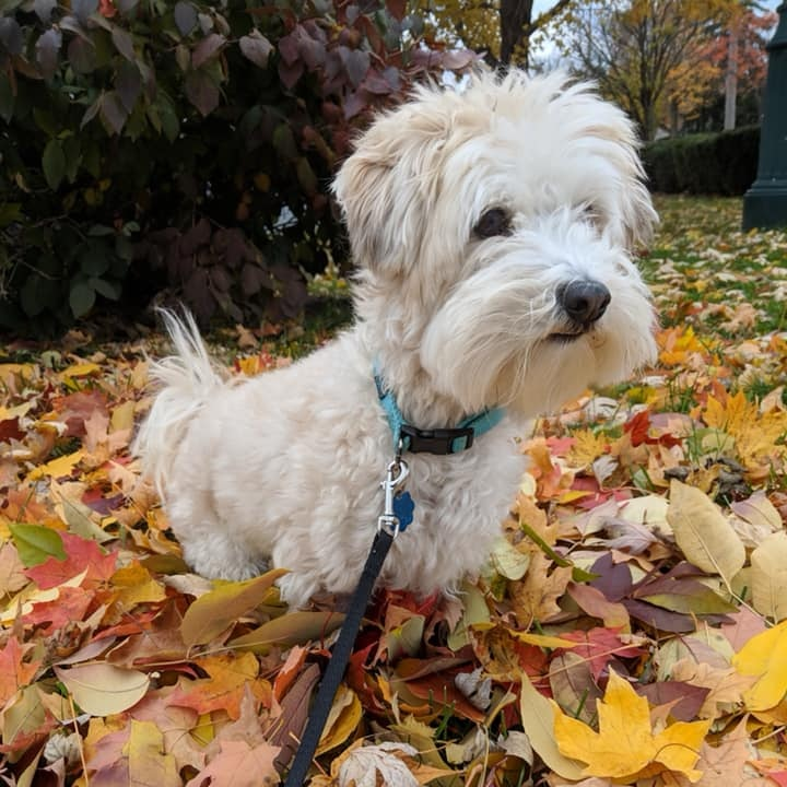 4. Christopher - This is Christopher Chocolate Milk Sweeny, 3 year-old Havanese. He loves to cuddle - but only for five minutes or less. Then he's content to cozy up by himself in a nearby chair.