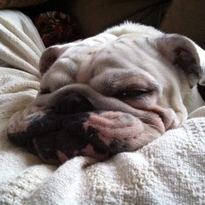 5. Meatloaf - This is Meatloaf he is about 7 and an English Bulldog. He is super lazy and chillin' on the couch type of dog.