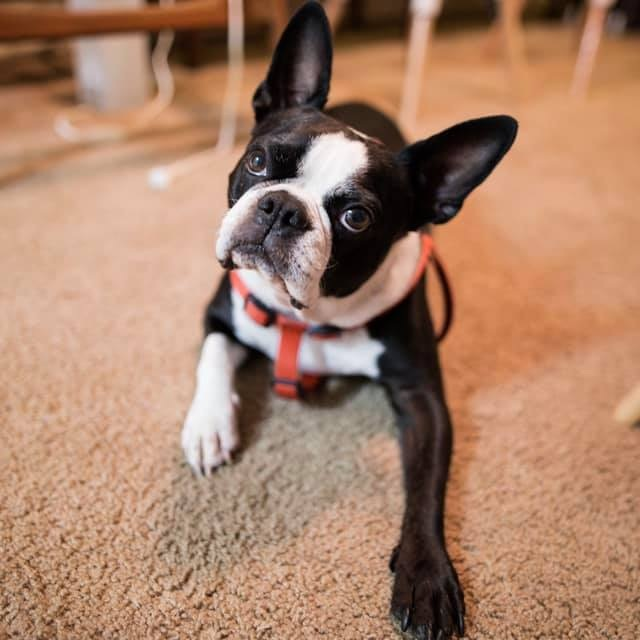 """12. Rocky - This is Rocky the Boston Terrier. He's somewhere between 7 and 9, we're not real sure since he's a rescue. If you start any phrase with """"do you wanna go"""" he will tilt his head as seen in the photo!"""