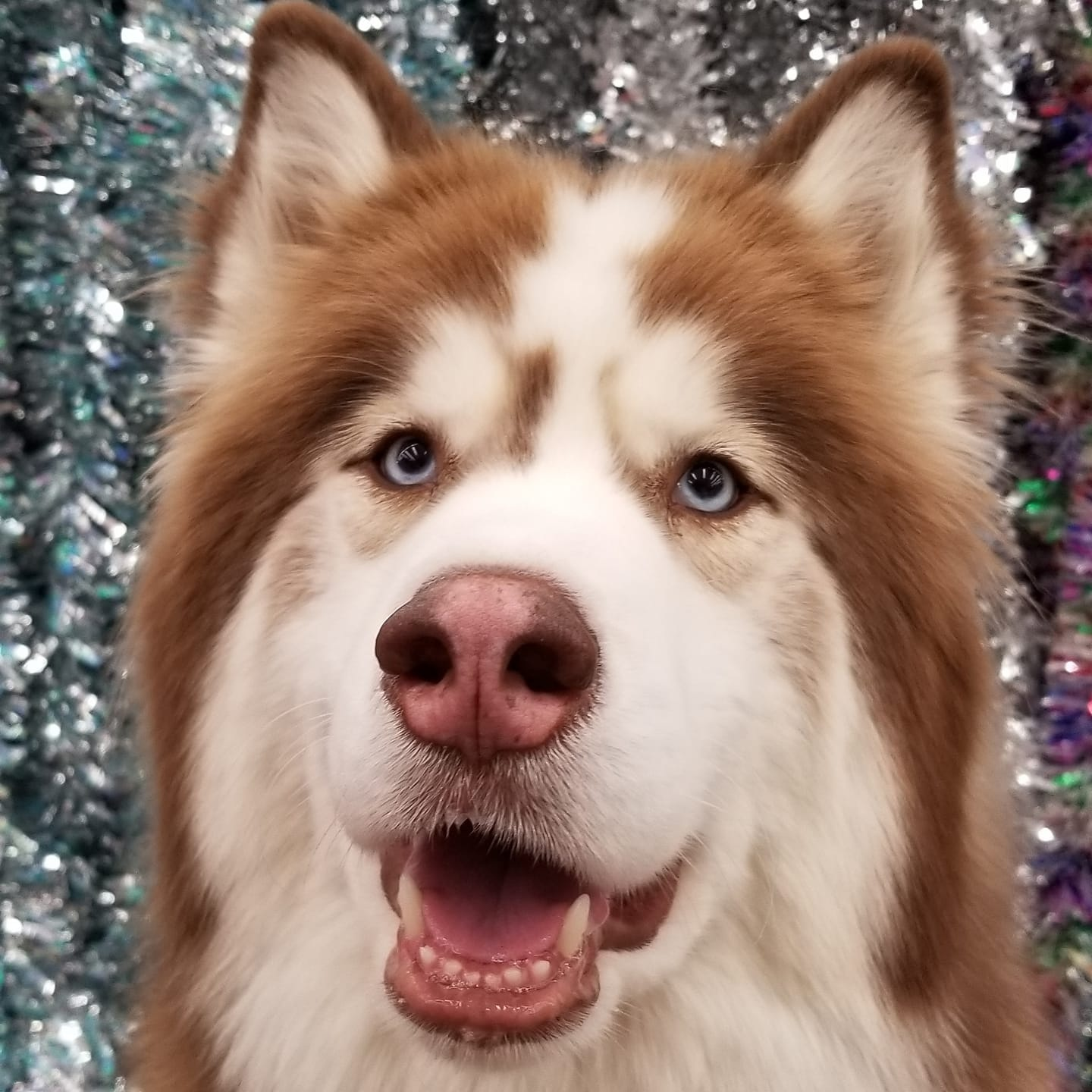 14. Ajax - This is Ajax Thor. 4 year old Siberian Husky. He is a service dog who loves to give a little
