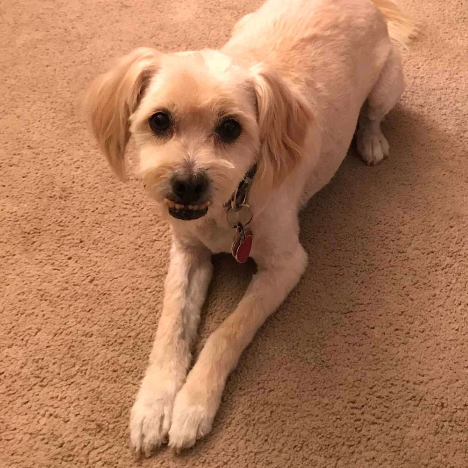 16. Kaiser - This is Kaiser. He is a Shih-Poo and will be turning 10 in April. Kaiser once got into an unopened box of carnation instant breakfast and when I got home there were chocolate powder spots everywhere on the carpet.