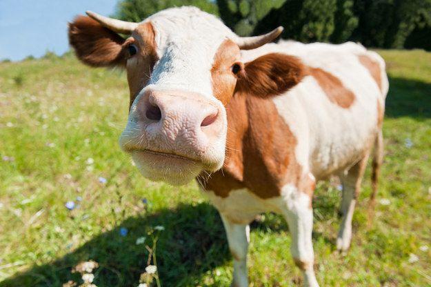 cute_cow