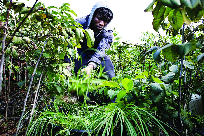 Les migrants sont majoritairement enrôlés dans les plantations durant les récoltes. © Magali Girardin / Septembre 2017