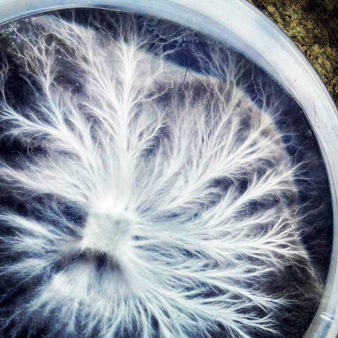 mycelium rhizo.jpg