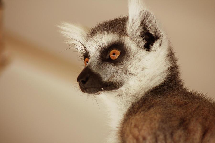 lemur-portrait-angela-emanuelsson.jpg