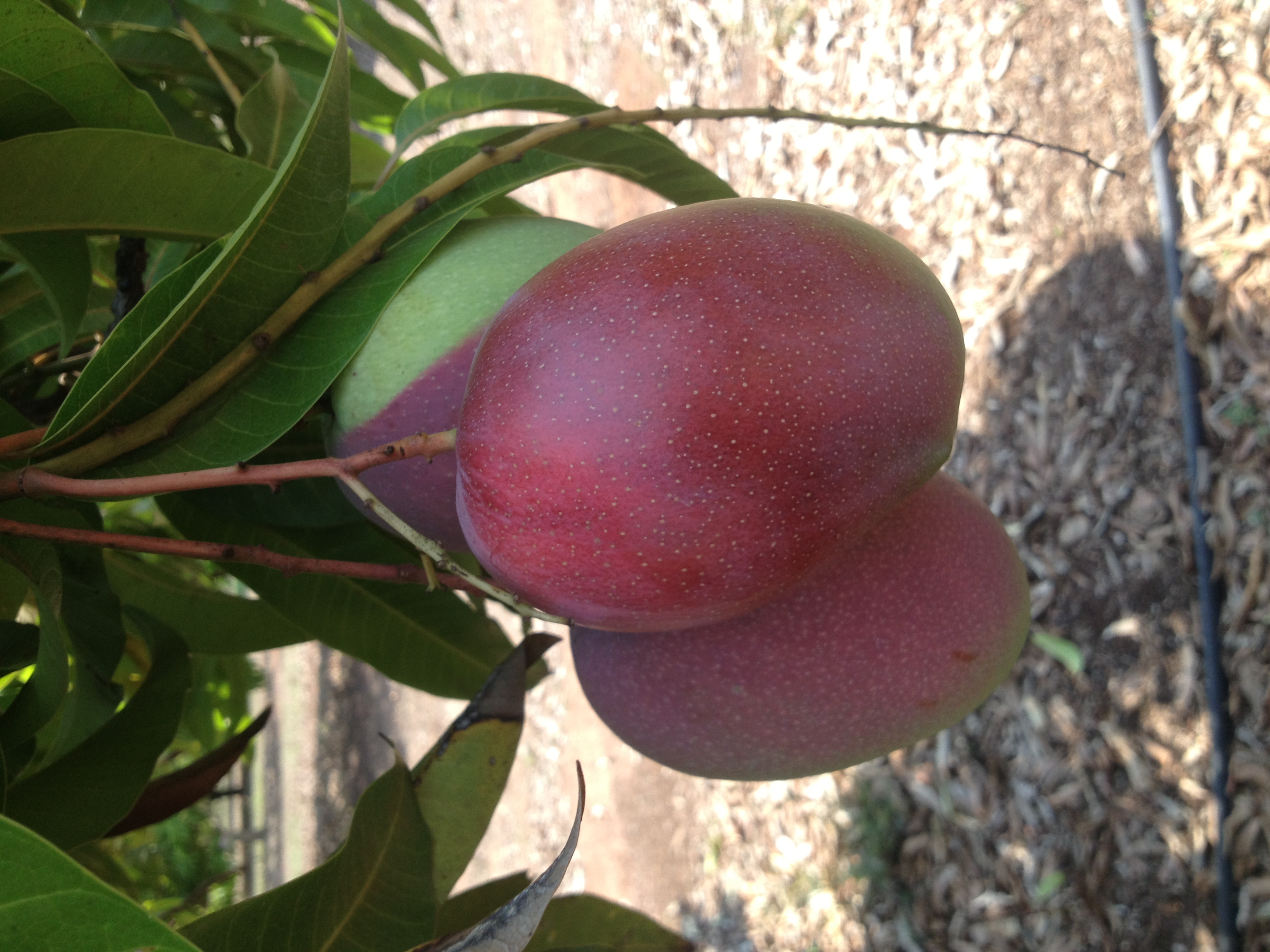 Irwin mangoes on tree - Berry Springs, Northern Territory
