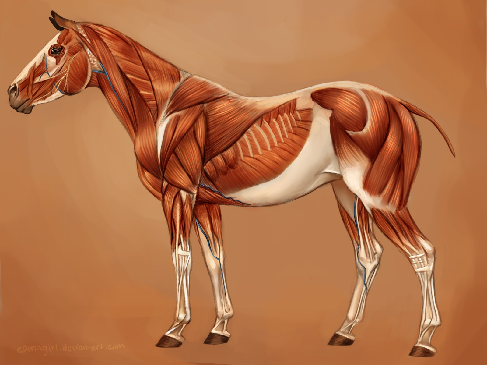 Horse+Muscles-color.jpg