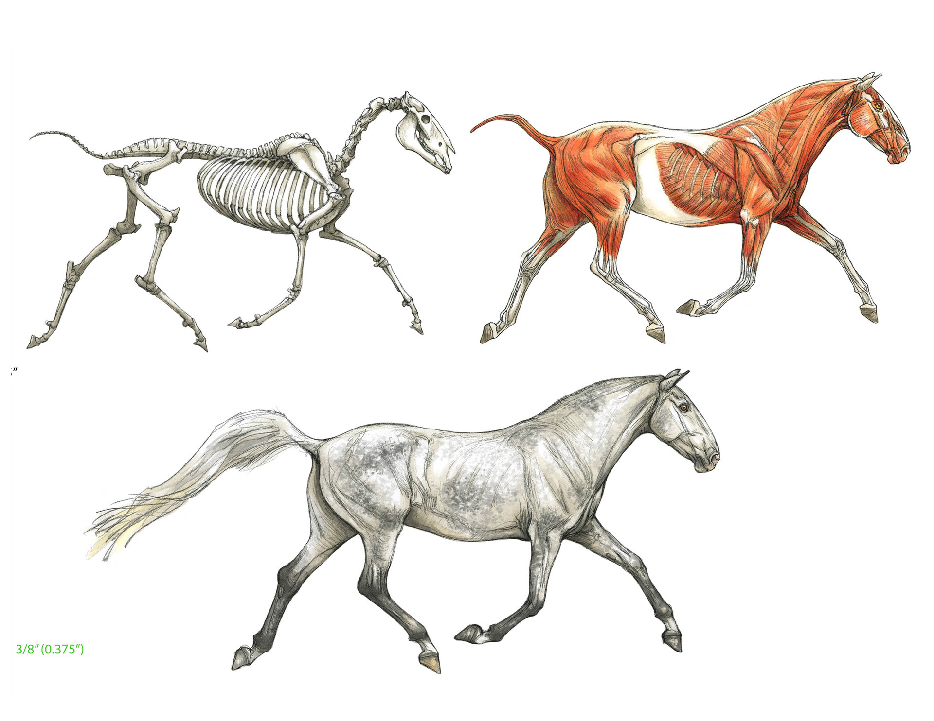 terryl-whitlatch-andalusian-horse-anatomyrev.jpg