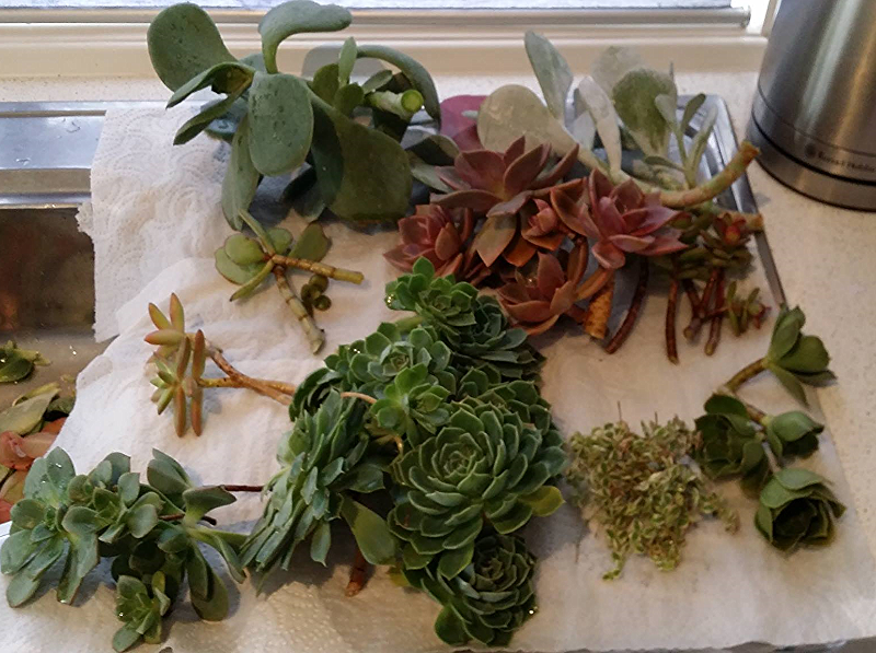 Jackie's succulent cuttings, that she started growing 6 months prior to her wedding, cultivated and ready to be made into bouquets.