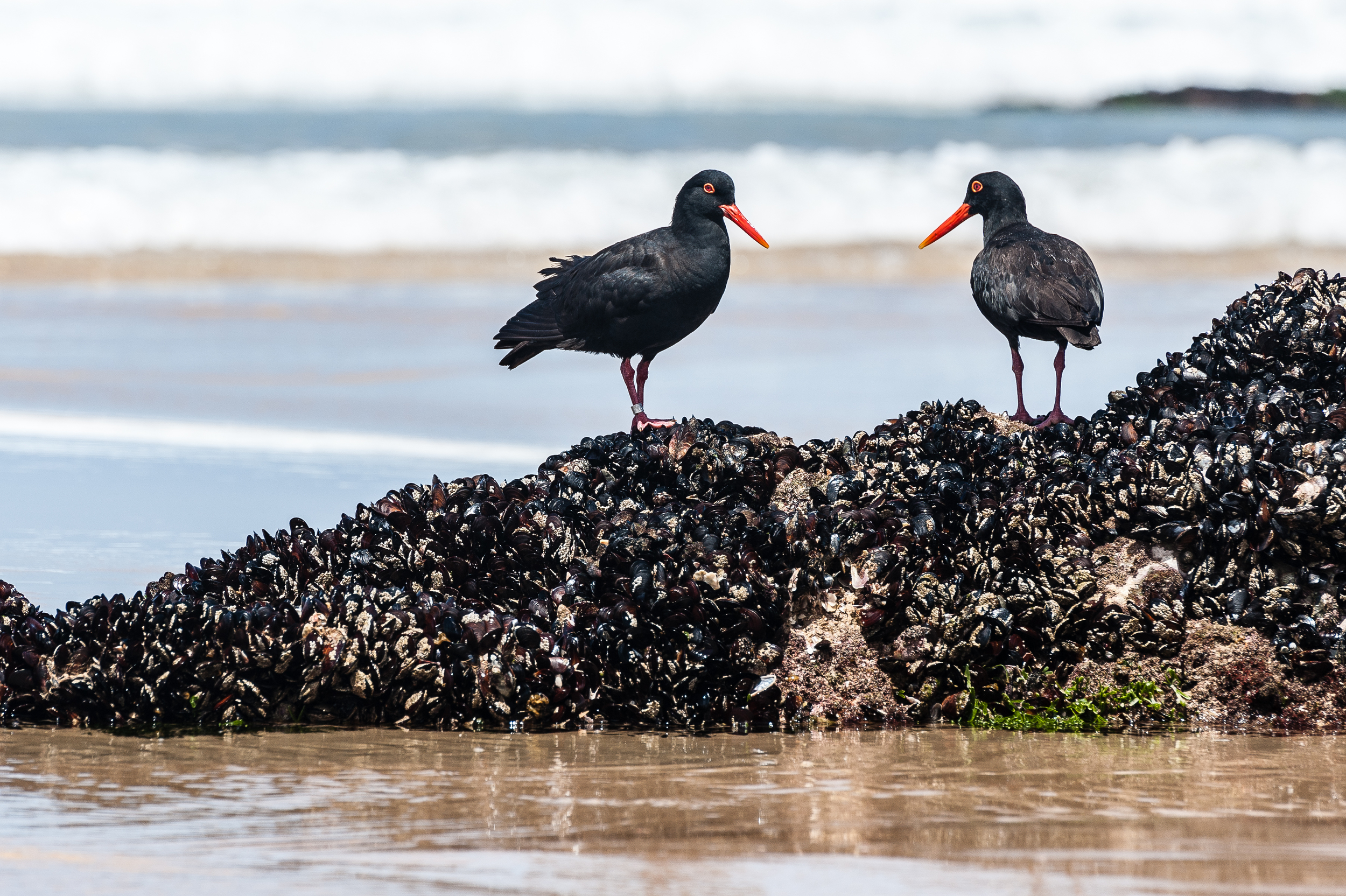 Black Oyster Catcher, Nature Valley, South Africa