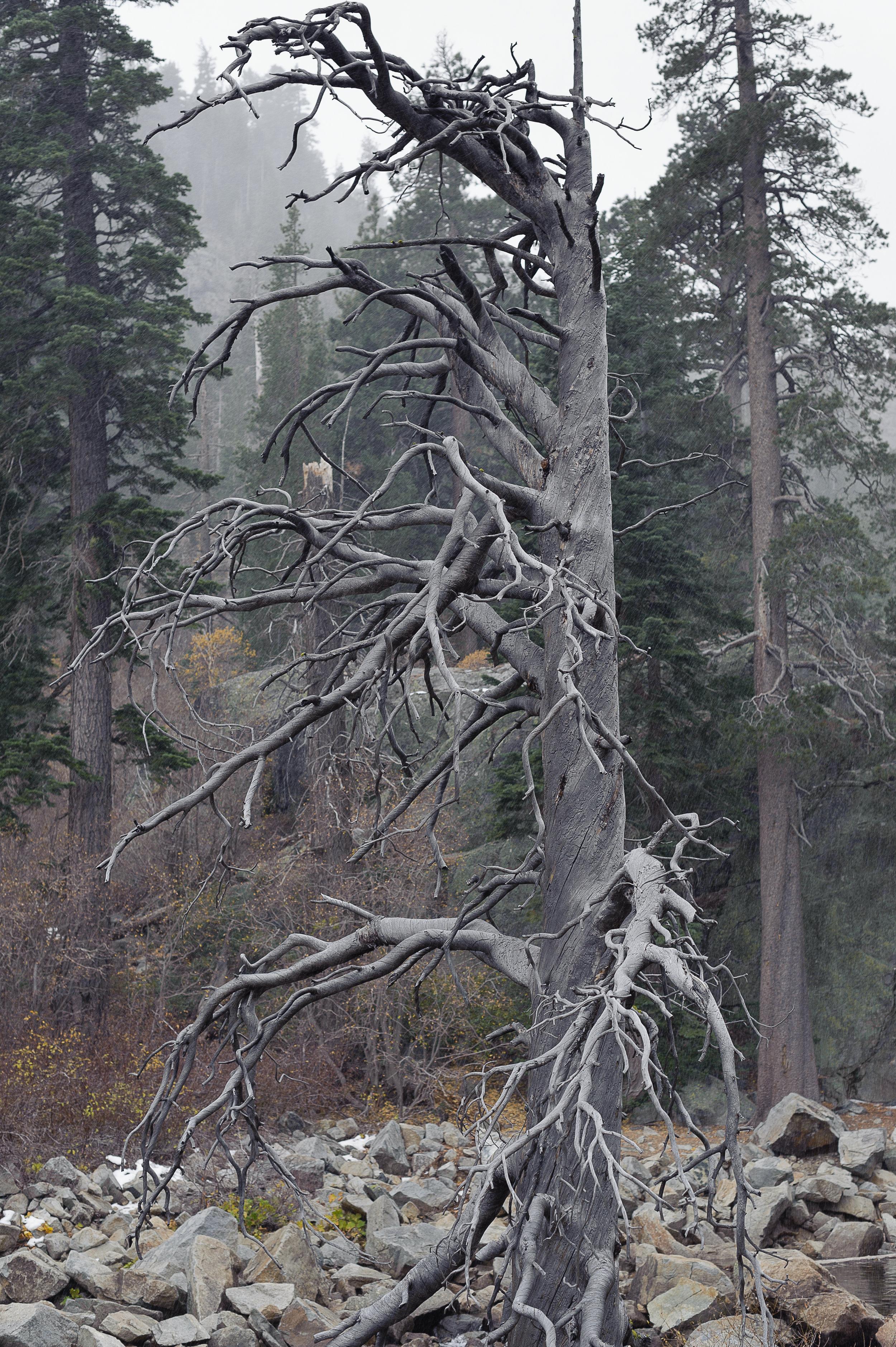 Tree, Lake Tahoe