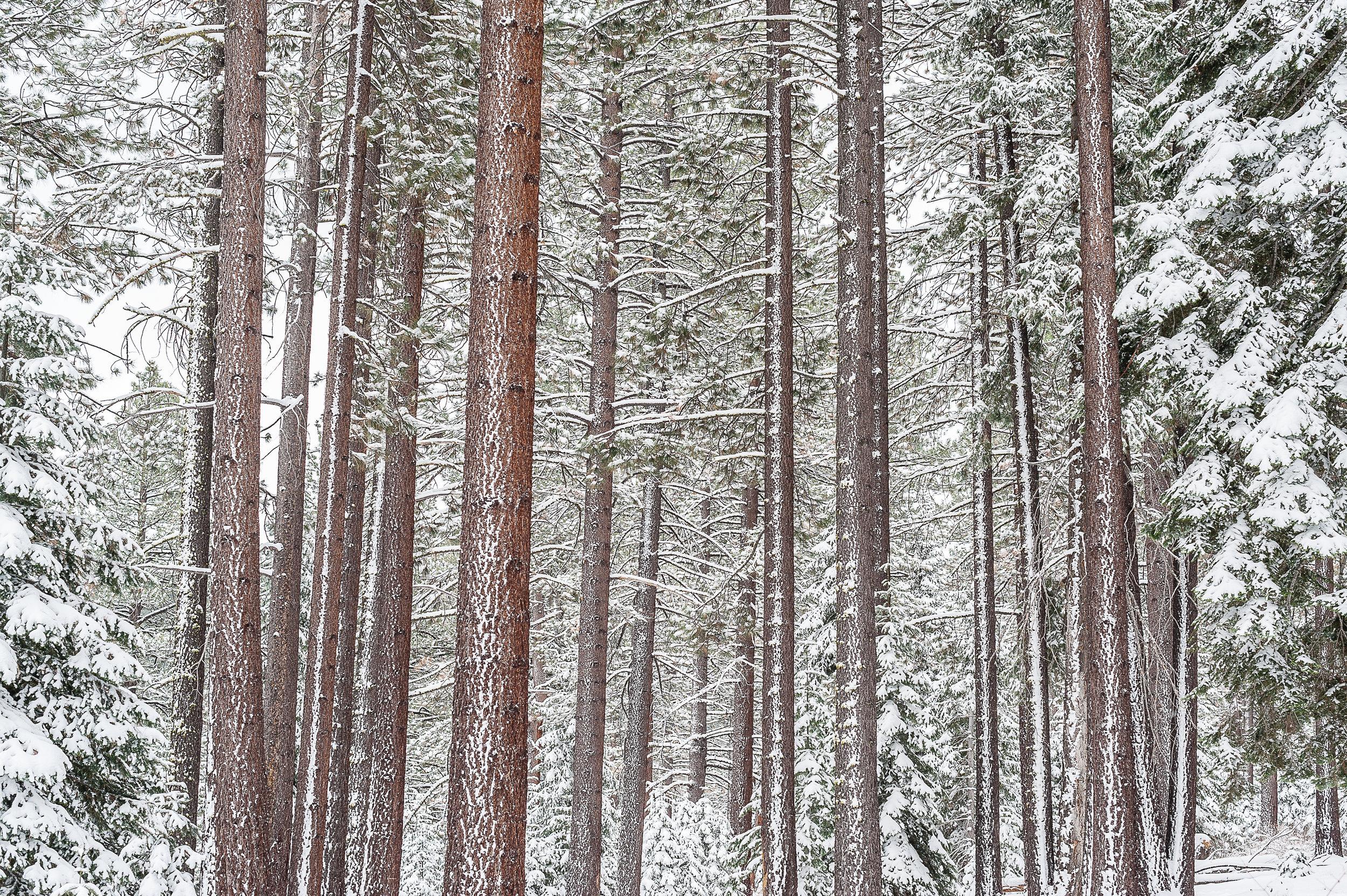 Trees, Lake Tahoe