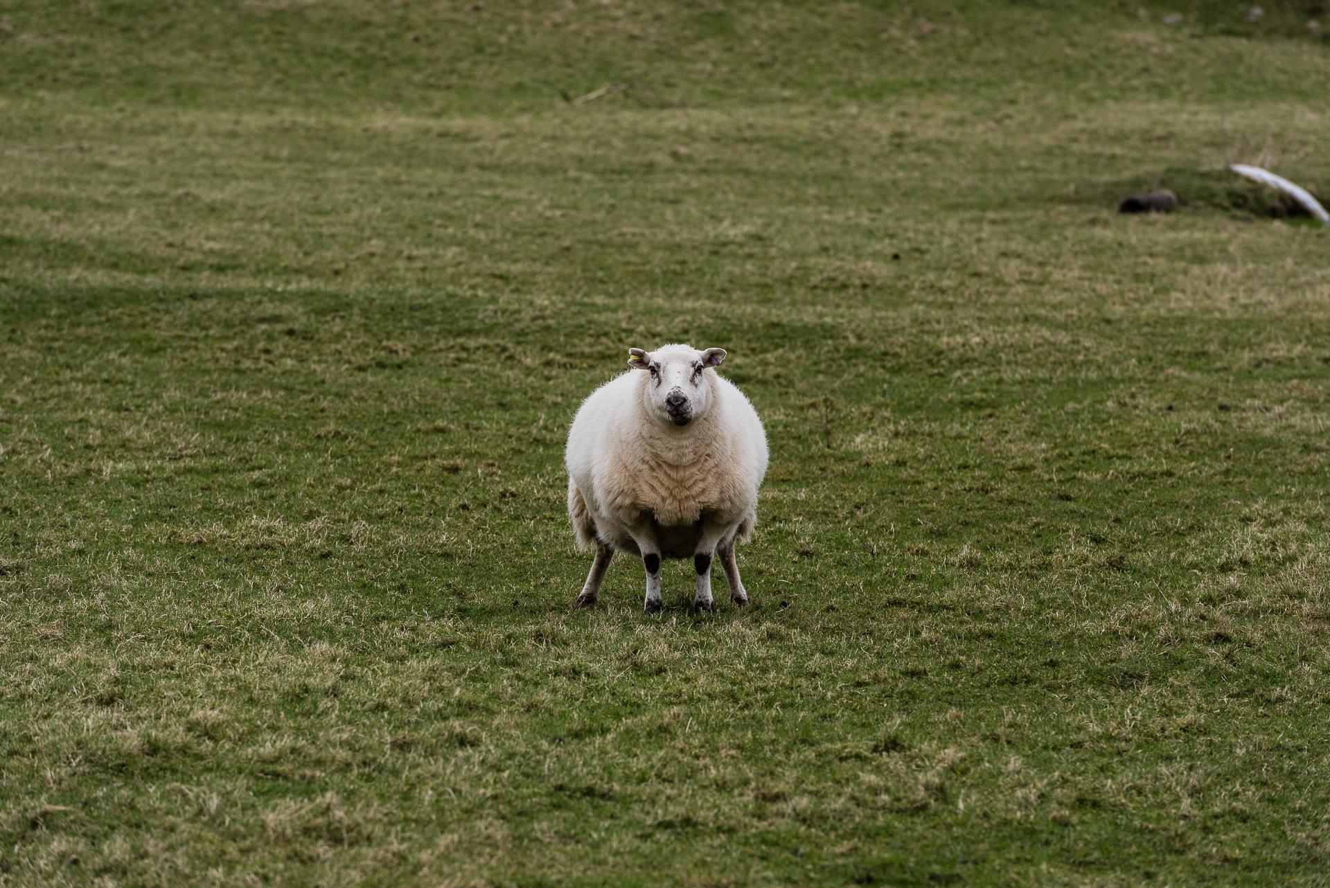 Sheep, Wales