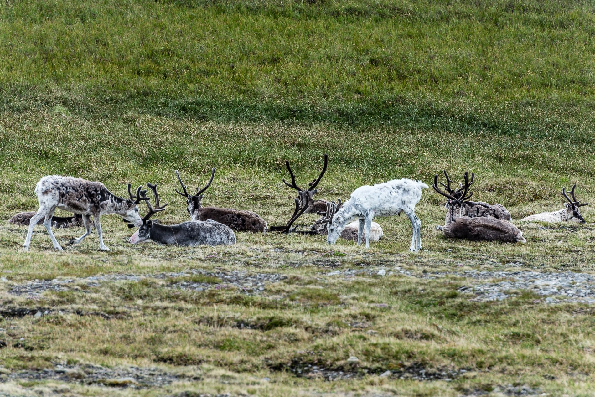 Reindeers, Norway