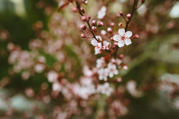 spring cherry blossom branch