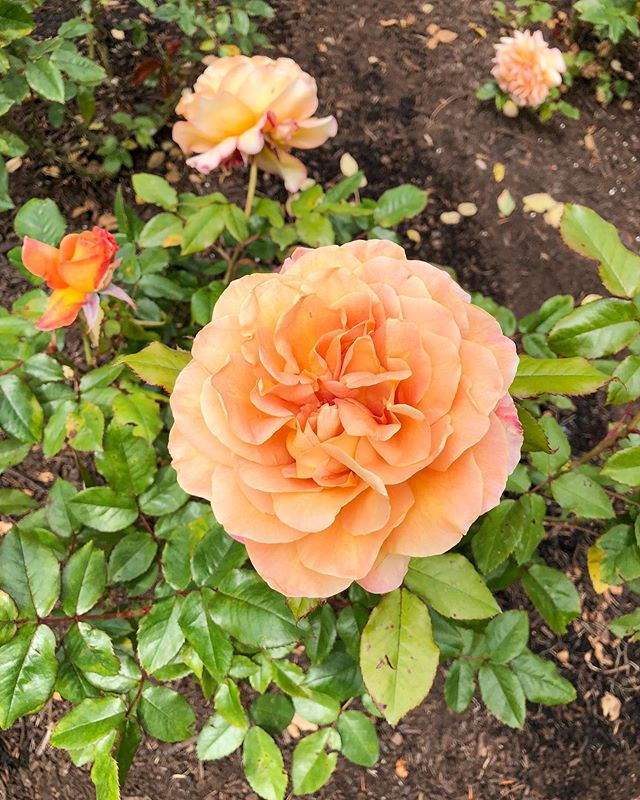 We visited the International Rose Test Garden this weekend and although it's not quite rose season around here yet, there were a few beauties blooming for us to admire.