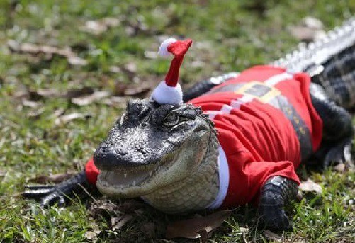 Source:http://i0.wp.com/theverybesttop10.com/wp-content/uploads/2014/11/Top-10-Weird-and-Exotic-Animals-Wearing-Santa-Hats-2.jpg?resize=501%2C343