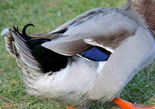 Source:http://www.birdinginformation.com/wp-content/gallery/mallard_duck/mallard-duck-17a.jpg