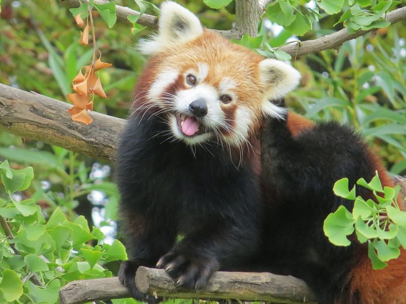 https://en.wikipedia.org/wiki/Red_panda#/media/File:Red_Panda_in_a_Gingko_tree.jpg