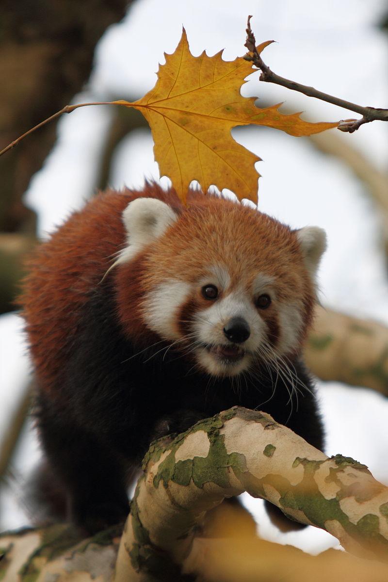 https://en.wikipedia.org/wiki/Red_panda#/media/File:Ailurus_fulgens_-Diergaarde_Blijdorp-8a.jpg