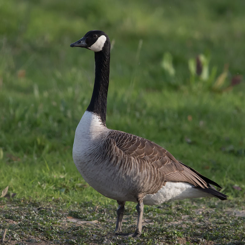 https://upload.wikimedia.org/wikipedia/commons/e/e6/Kanadagans_Branta_canadensis.jpg
