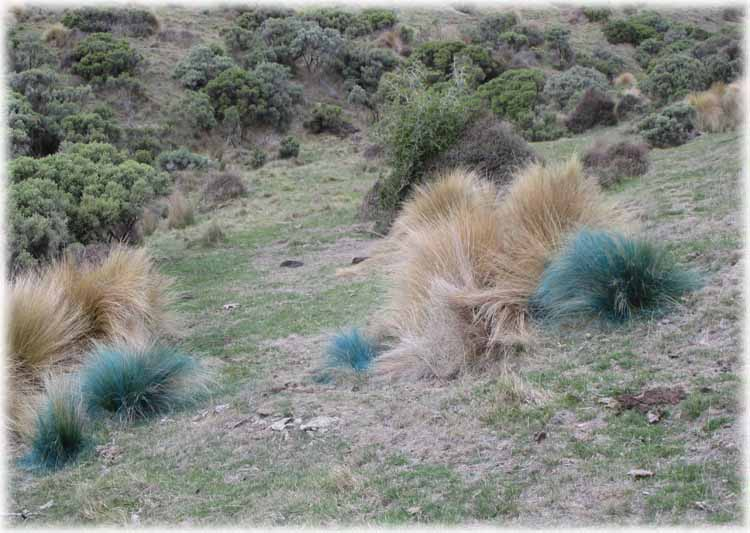 Nassella tussock sprayed using Done That blue dye. Note how well it stands out