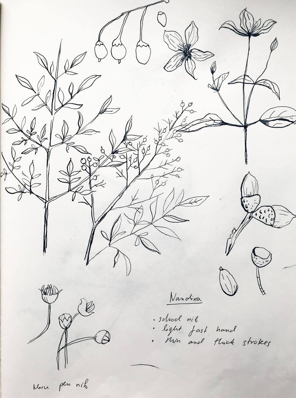 Figure 1.  Botanical Sketchbook Studies,  2017. Draft pencil, ink and various Zig dip pen nibs on paper.