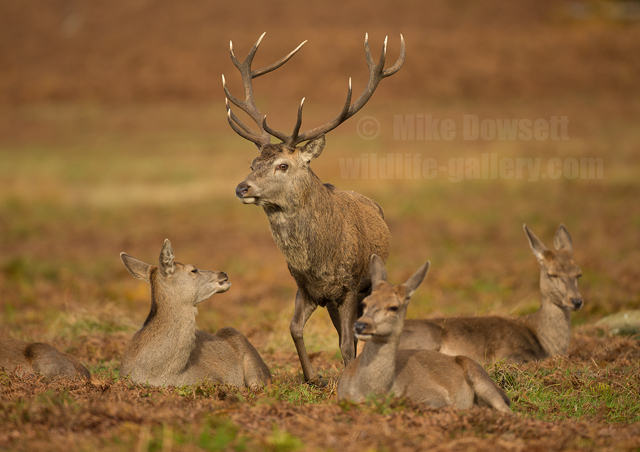 Red Deer Stag with Hinds
