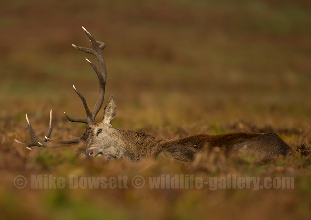 Red Deer Stag Sleeping