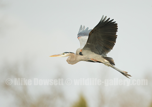 Great Gray Heron in flight