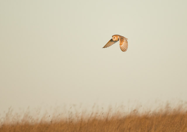 A Barn Owl hunting before sunrise - 500mm f4, ISO 1000, 1/1000sec