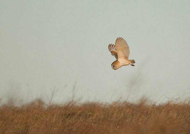 A wild Barn Owl hunting before sunrise on a cold winter morning.