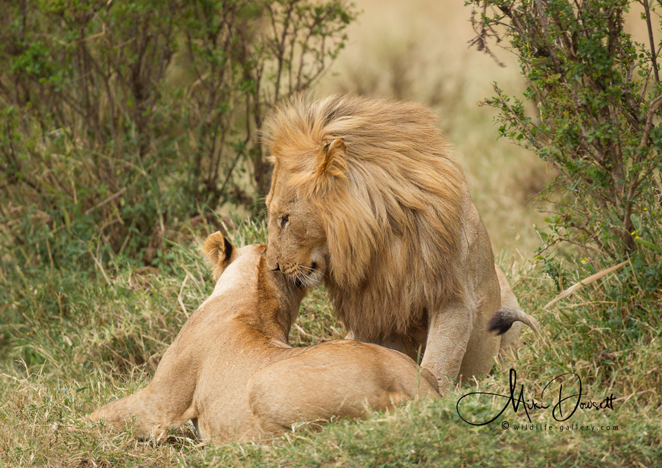 Lions in love - A moment of tenderness among all the hunting action in the Kenyan, Masai Mara. Mr & Mrs Lion, settling down for the night, during the last few minutes of daylight.