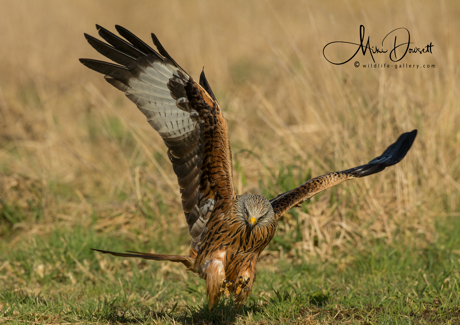 Red Kite Talons Out