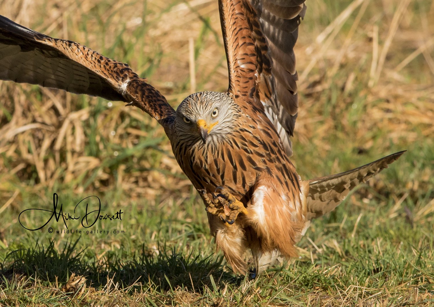 Red Kite Close up action