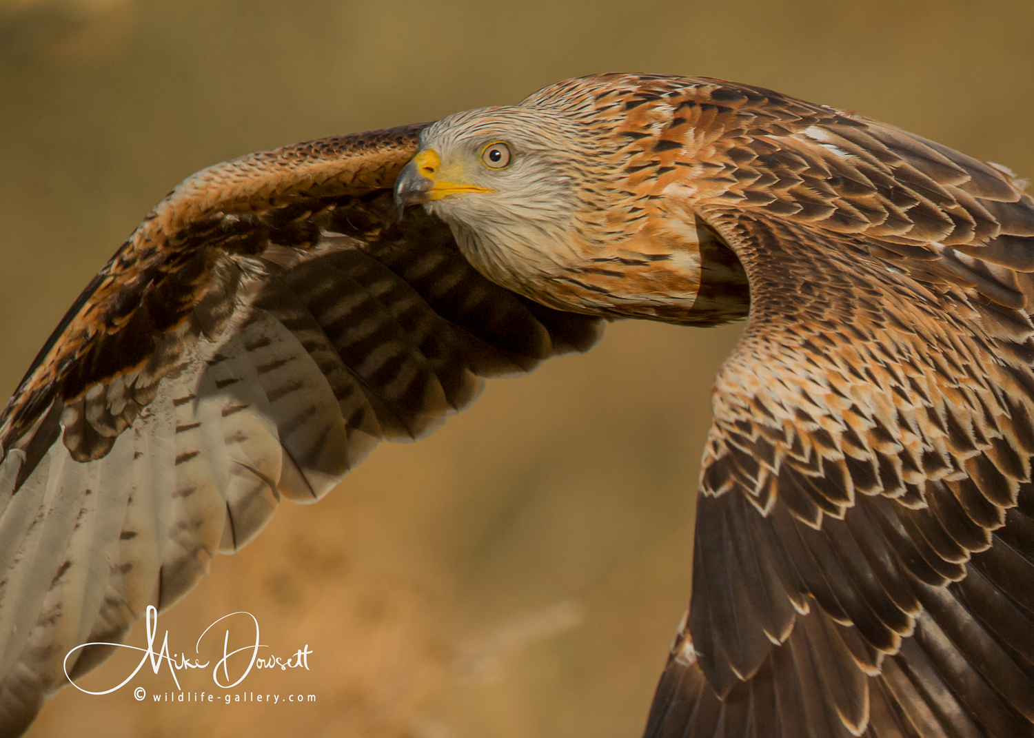 Red Kite In Flight - Close Up