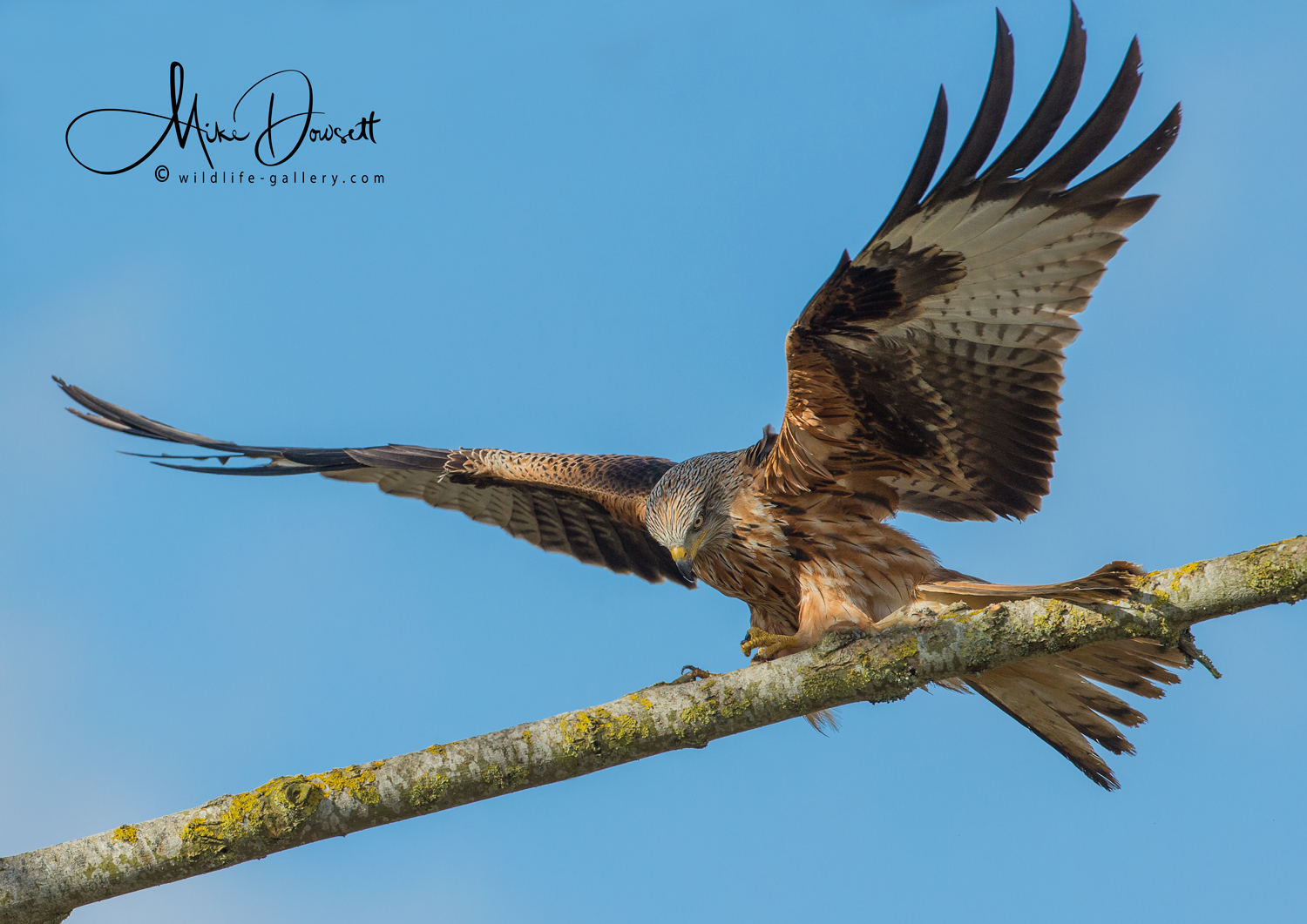 Red Kite landing on perch