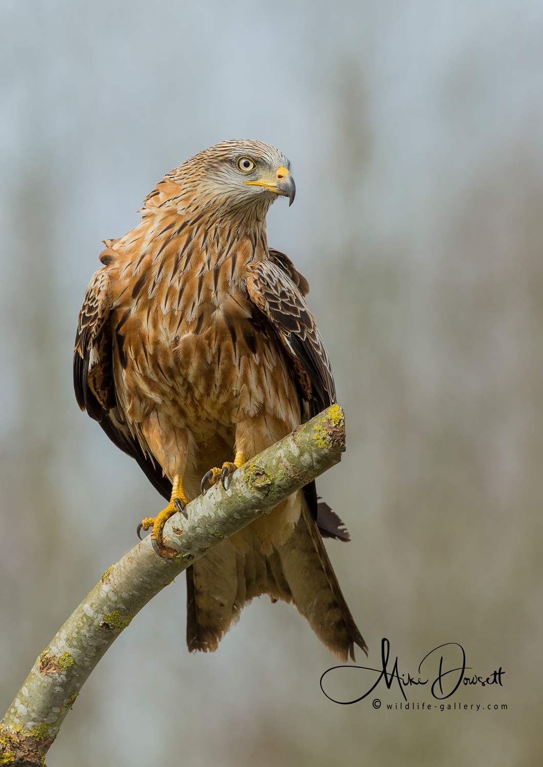 Red Kite Perched