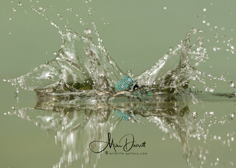 Kingfisher Splash