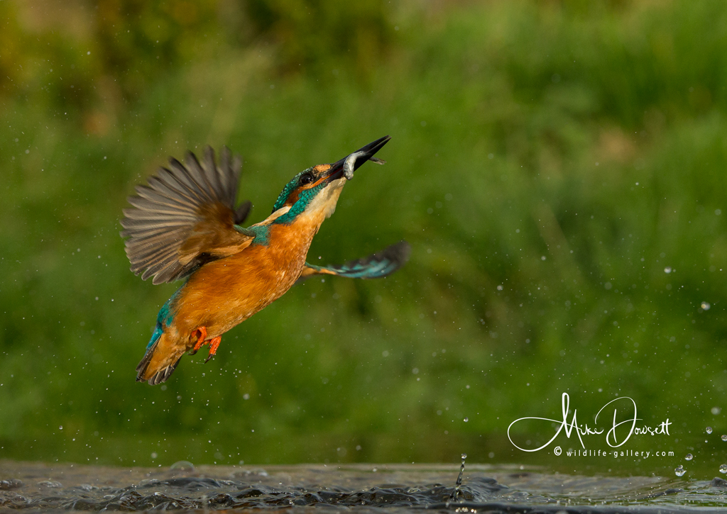 Kingfisher exploding from the water with a fish