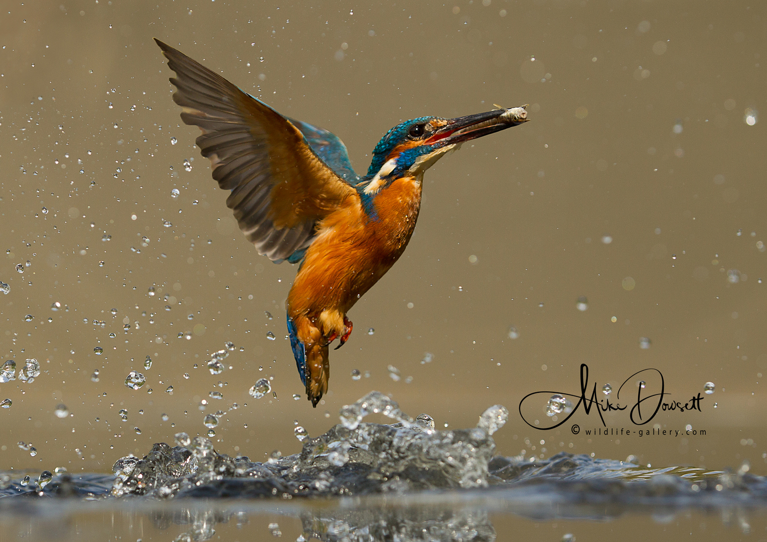 Kingfisher with fish exploding from the water