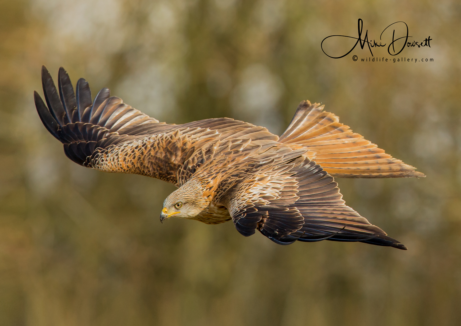 Red Kite: A beautiful Oxfordshire Red Kite flying through a River Meadow, with some golden evening sun light - a really beautiful raptor.
