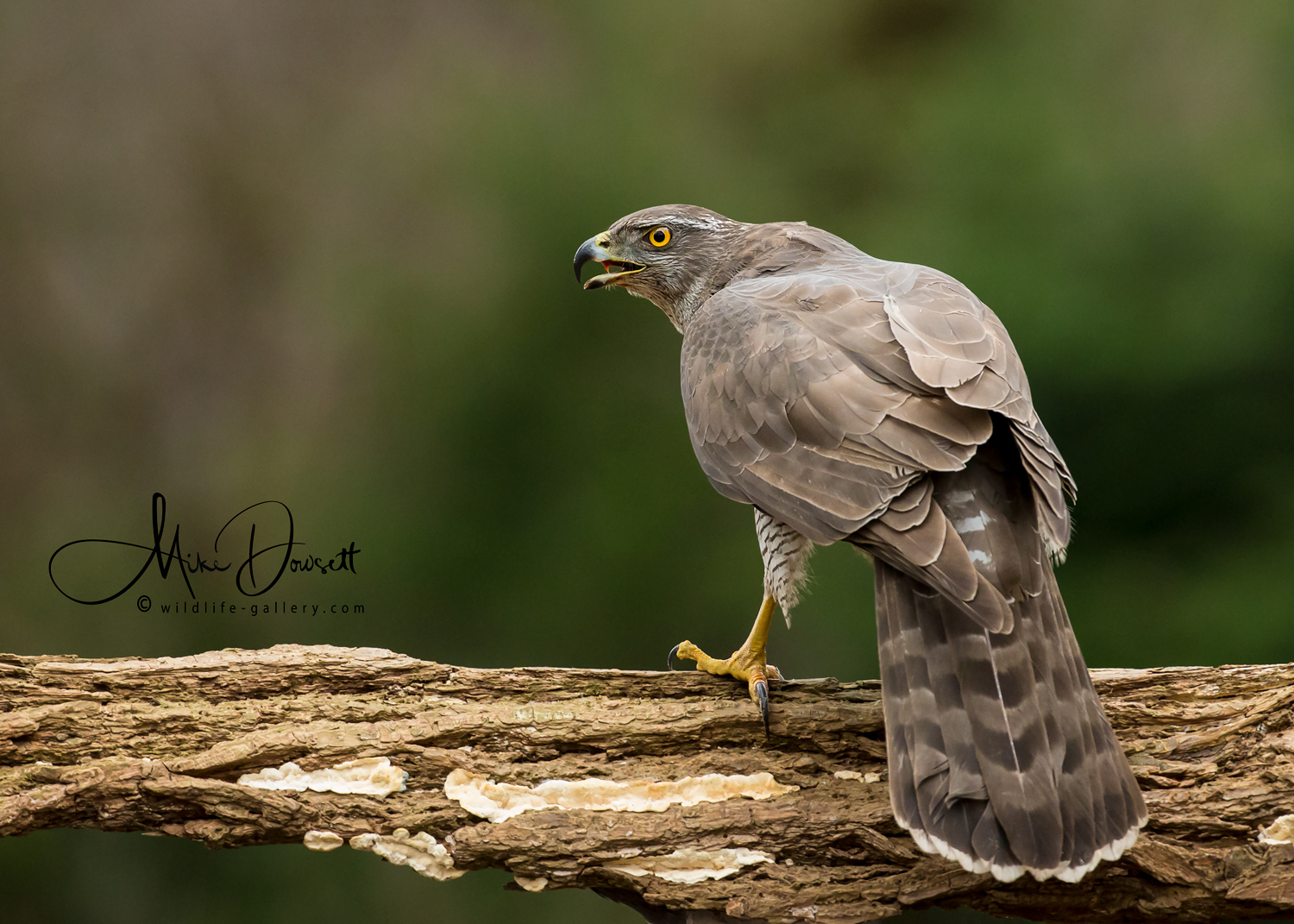 Northern Goshawk: A Northern Goshawk, sitting in a very aggressive position. Taken deep in the forest of middle Netherlands.