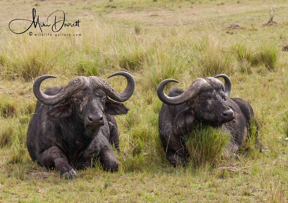 Pair of Cape Buffalo
