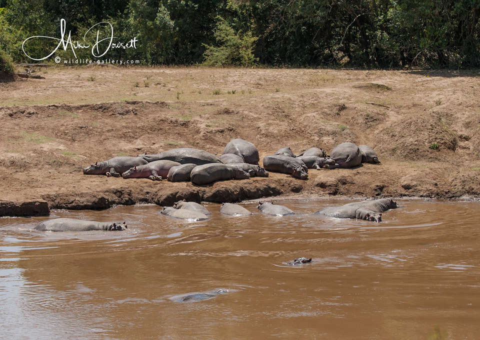 A bloat of Hippopotamuses in the Mara River