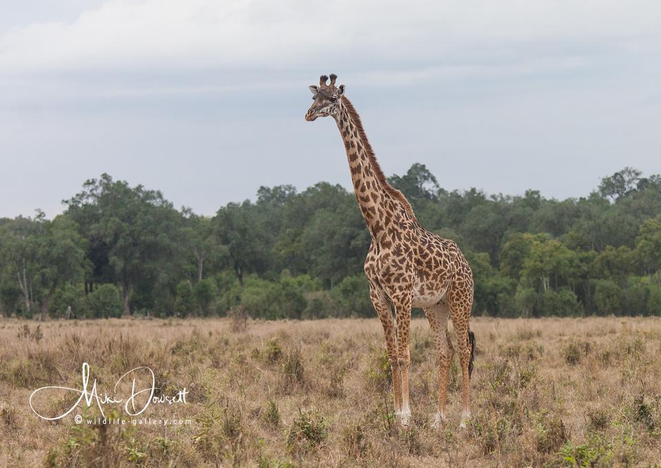 Giraffe in the Mara